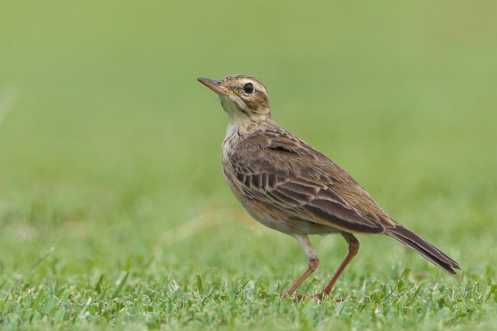 Paddyfield Pipit at NSRCC. Photo Credit: Francis Yap