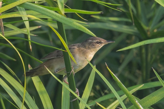 Pallas's Grasshopper Warbler at sengkang. Photo Credit: Francis Yap