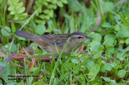 Juvenile Pallas's Grasshopper Warbler at Sengkang. Photo Credit: Alan Ng