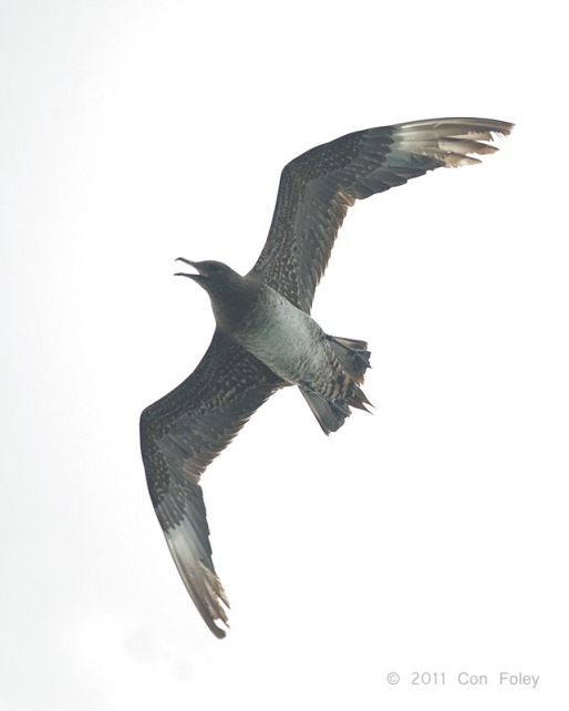 Parasitic Jaeger at Singapore Strait. Photo Credit: Con Foley
