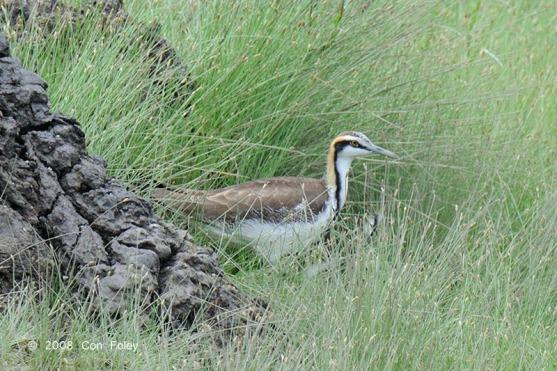 Non-breeding Pheasant-tailed Jacana at Sungei Buloh Wetland Reserve. Photo Credit: Con Foley
