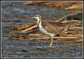 Non-breeding Pheasant-tailed Jacana from Thailand. Photo Credit: Daniel Koh