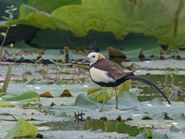 Breeding Pheasant-tailed Jacana from Hunan, China. Photo credit: Henry Koh