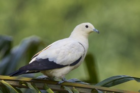 PIed Imperial Pigeon at Jurong Lake Park. Photo credit: Francis Yap
