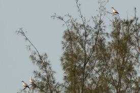 Pied Imperial Pigeons at Pulau Hantu. Photo credit: Francis Yap