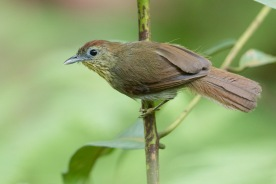 Pin-striped Tit-Babbler at Rifle Range Link. Photo Credit: Francis Yap