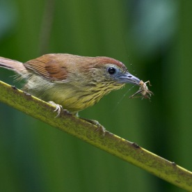 Pin-striped Tit-Babbler at Hindhede Park. Photo Credit: Francis Yap