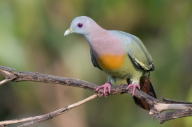 Male Pink-necked Green Pigeon at Jelutong Tower. Photo Credit: Francis Yap