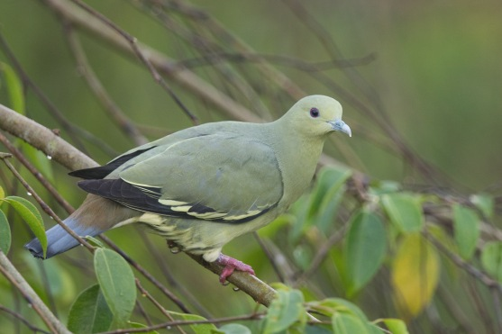 Female Pink-necked Green Pigeon at Jelutong Tower. Photo Credit: Francis Yap