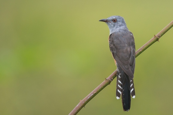 Adult Plaintive Cuckoo at Punggol Barat. Photo Credit: Francis Yap