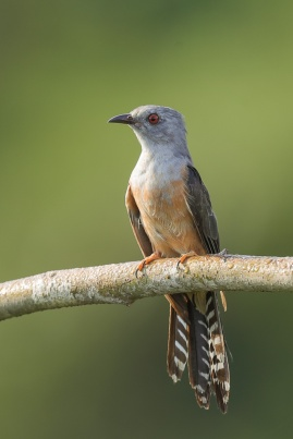 Plaintive Cuckoo at Jelutong Tower. Photo credit: Francis Yap