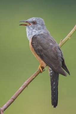 Adult Plaintive Cuckoo at Punggol Barat. Photo Credit: Francis Yap