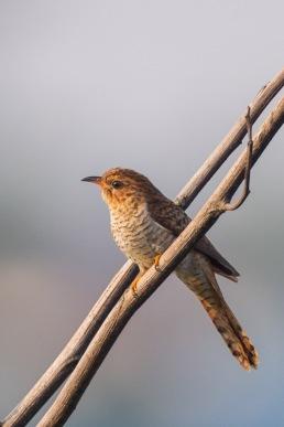Juvenile Plaintive Cuckoo at Tuas Grassland. Photo Credit: Francis Yap