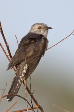 Adult Plaintive Cuckoo at Tuas Grassland. Photo Credit: Francis Yap