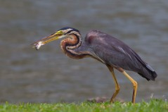 Adult Purple Heron. Photo credit: Alan Ng