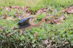 Juvenile Purple Heron at Bishan Park. Photo credit: See Toh Yew Wai