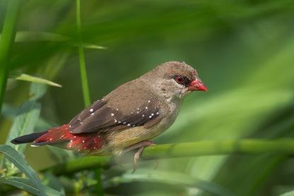 Immature male Red Avadavat at Bishan Park. Photo Credit: Francis Yap