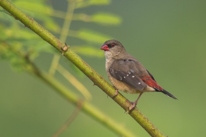 Female Red Avadavat at Punggol Barat. Photo Credit: Francis Yap