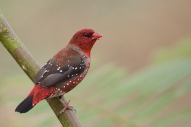 Male Red Avadavat at Punggol Barat. Photo Credit: Francis Yap