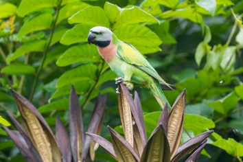 Red-breasted Parakeet at NTL2. Photo Credit: Francis Yap