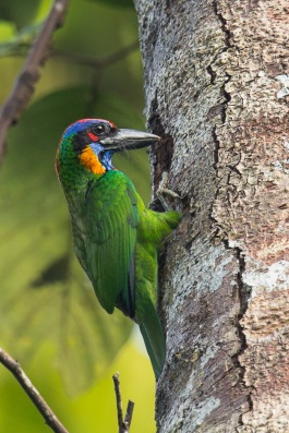 Red-crowned Barbet at Sime Forest. Photo Credit: Francis Yap