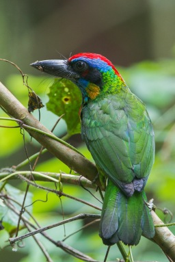 Red-crowned Barbet at Rifle Range Link. Photo Credit: Francis Yap