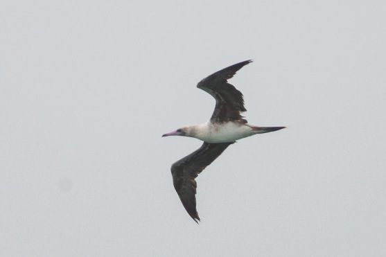 Subadult Red-footed Booby at Singapore Strait. Photo Credit: Francis Yap