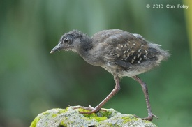 Juvenile Red-legged Crake at SBG. Photo Credit: Con Foley