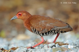Red-legged Crake at SBG. Photo Credit: Con Foley