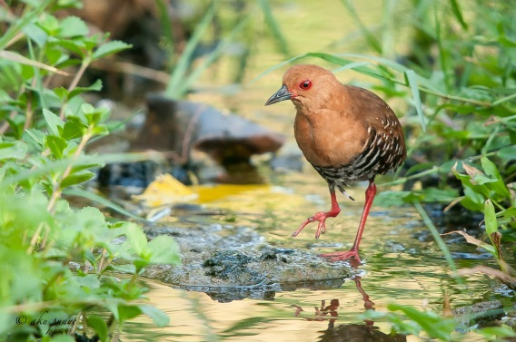 Red-legged Crake at Lorong Halus. Photo Credit: Mohamad Zahidi Hamid.