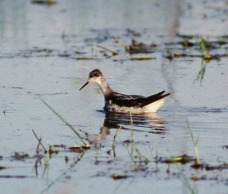 Red-necked Phalarope at Tuas marshes in Nov 1994. Photo Credit: Alan Owyong