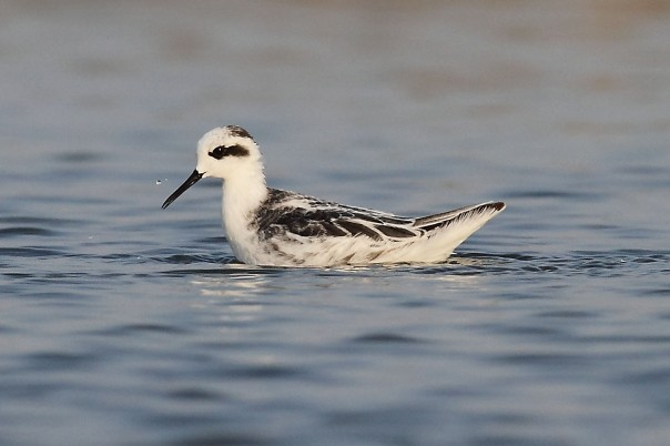 Red-necked Phalarope at Pak Thale, Thailand. Photo Credit: Myron Tay