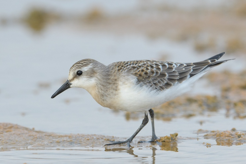 Red-necked Stint at Marina East. Photo credit: Francis Yap