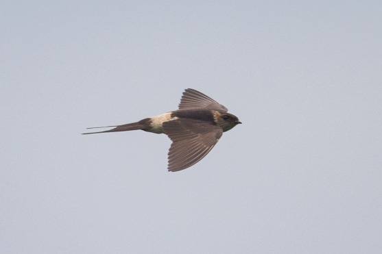Red-rumped Swallow at Punggol Barat. Photo Credit: Francis Yap