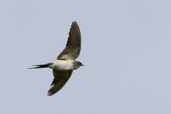 Red-rumped Swallow at Tanah Merah. Photo Credit: Francis Yap