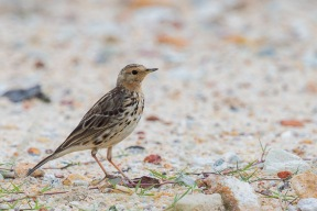 Red-throated Pipit at Punggol Barat. Photo credit: Francis Yap
