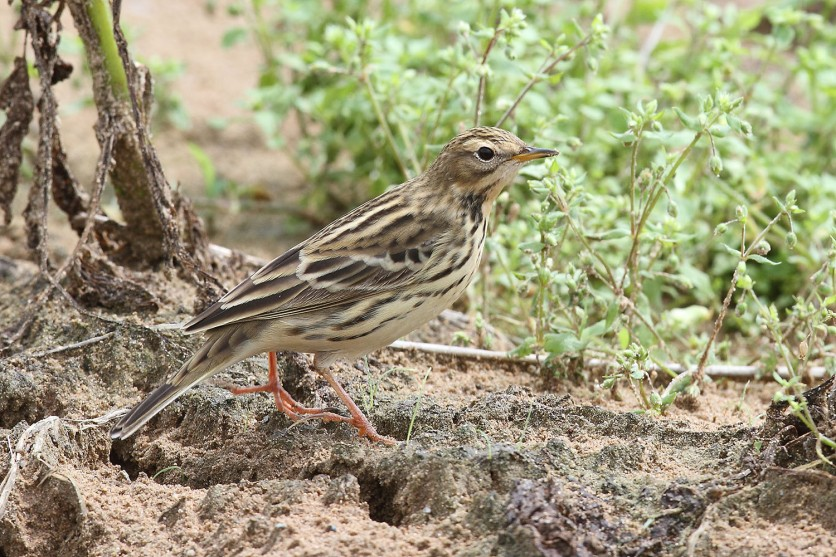 Red-throated Pipit at Punggol Barat. Photo credit: Myron Tay
