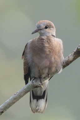 Immature male Red Collared Dove at SBWR. Photo Credit: Francis Yap