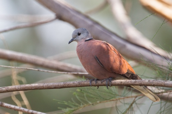 Male Red Turtle Dove at Changi Cove. Photo Credit: Francis Yap