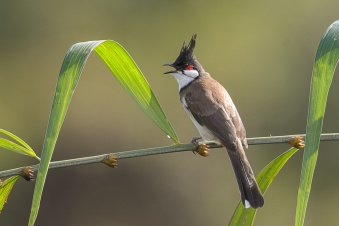Red-whiskered Bulbul at Jelutong Tower. Photo credit: Francis Yap