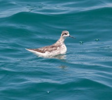 Red-necked Phalarope at Singapore Straits. Photo Credit: Howard Banwell