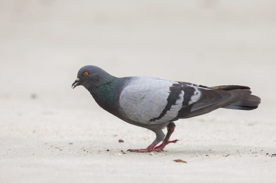 Rock Dove at Punggol End. Photo Credit: Francis Yap