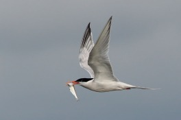 Roseate Tern off Lo Chau Island, Hong Kong. Photo Credit: Eric Tan