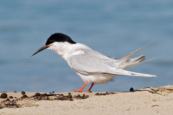 Roseate Tern at Penguin Island, Western Australia. Photo Credit: Eric Tan
