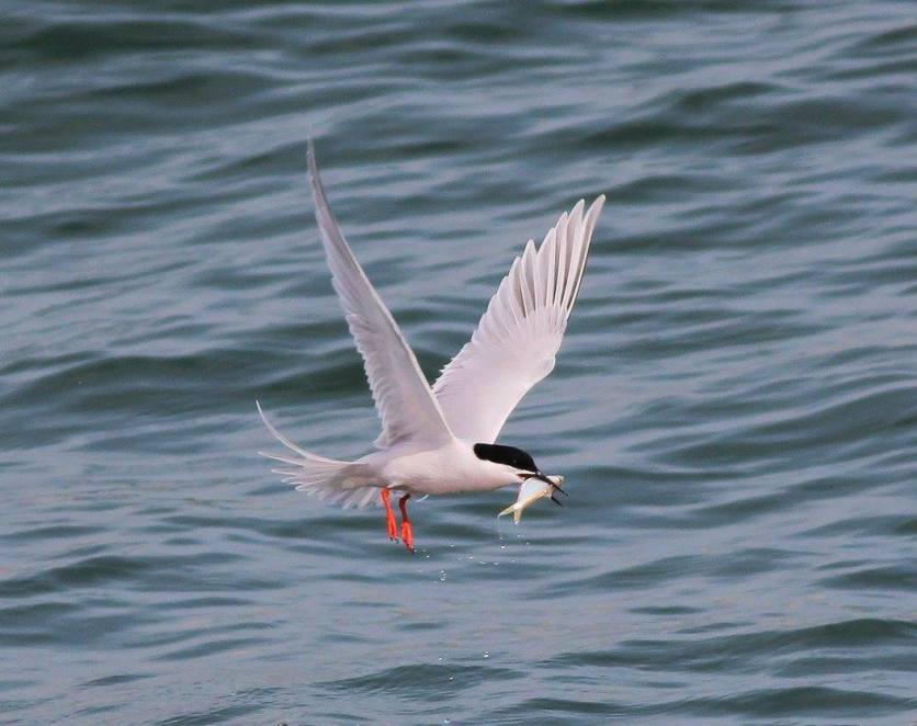 Roseate Tern in breeding plumage at Tanjung Dawai. Photo credit: Neoh Hor Kee