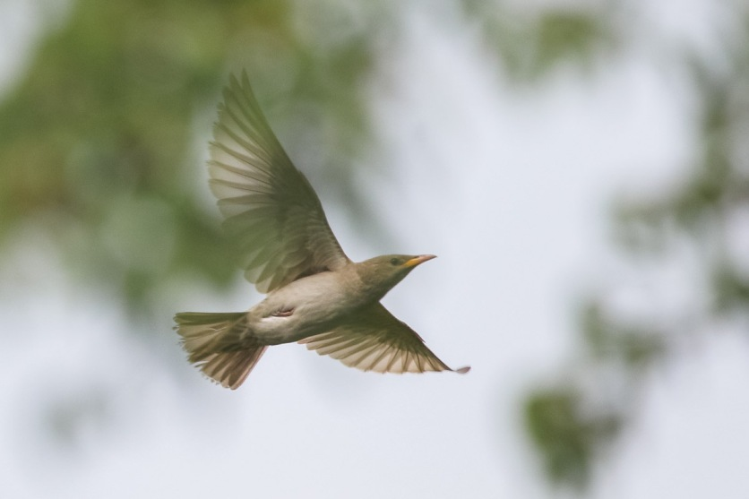 Rosy Starling at Kent Ridge Park. Photo credit: Francis Yap