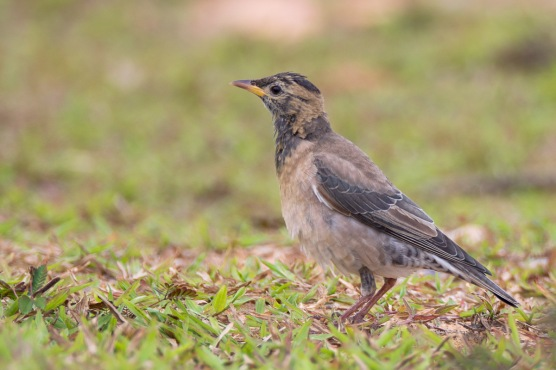 Rosy Starling at Lorong Halus. Photo credit: Francis Yap