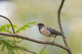 Rosy Starling at Lorong Halus. Photo Credit: Lim Ser Chai