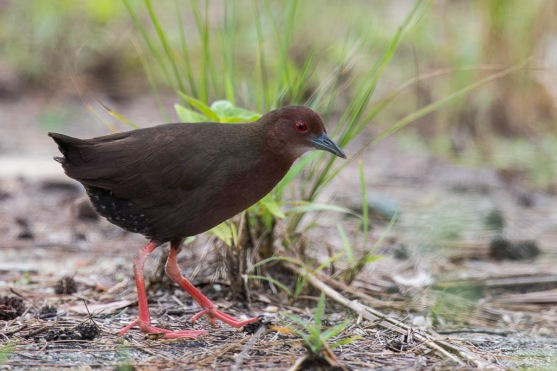 Ruddy-breasted Crake at Lorong Halus. Photo Credit: Francis Yap