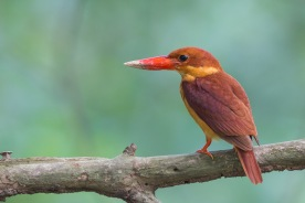 Juvenile Ruddy Kingfisher at Bidadari. Photo Credit: Francis Yap